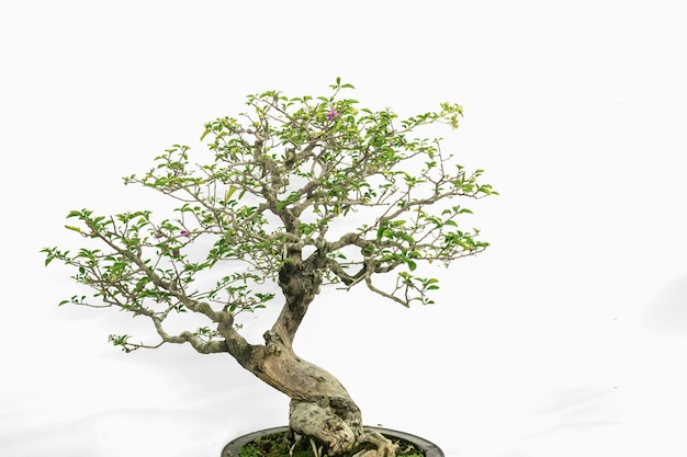 Bonsai d'arte da interno, in uno sfondo bianco puro