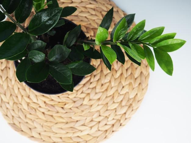 Pianta domestica da interno. gemma di zanzibar, zz plant (zamioculcas zamifolia). pianta fiorita su un tovagliolo di vimini. copia spazio.