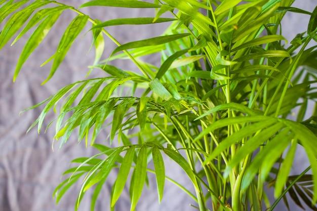 Palma da interni, piante chrysalidocarpus lutescens areca, piante aeree domestiche sullo sfondo grigio