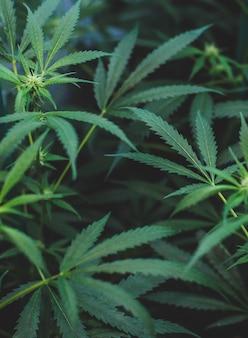 Piantagione indoor di marijuana del tipo amnesia haze per uso medicinale e ricreativo