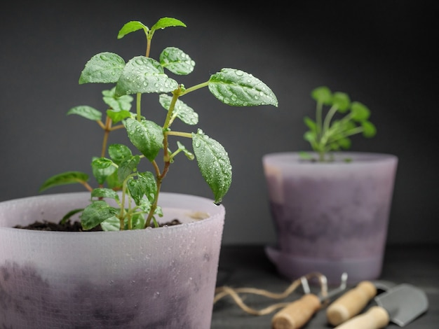 Le piante d'appartamento in vasi rosa siedono su un tavolo grigio insieme agli attrezzi da giardino.