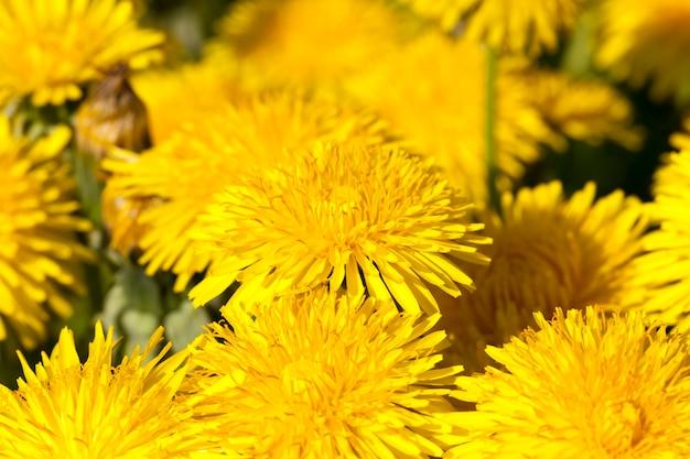 Infiorescenza di denti di leone freschi gialli nel campo, stagione primaverile, i denti di leone sono belli e gialli all'inizio della fioritura, fiori di campo ed erbacce, primi piani