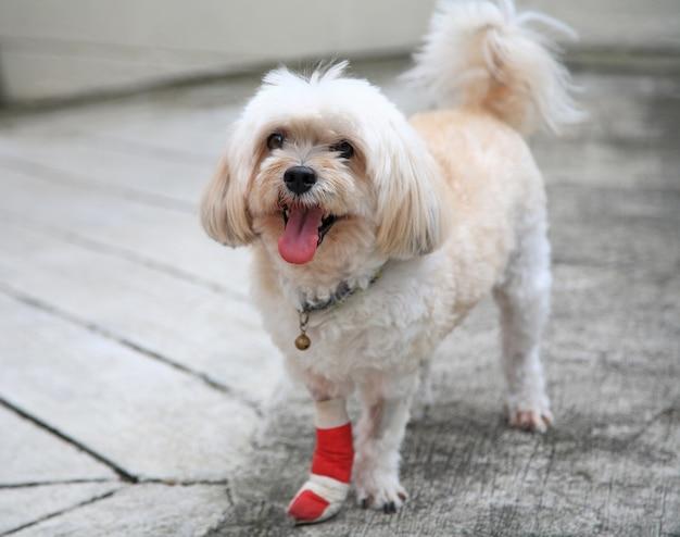 Gamba shih tzu ferita avvolta da benda rossa