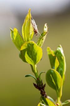 Insetto nelle piccole foglie nuove in primavera, riprese macro