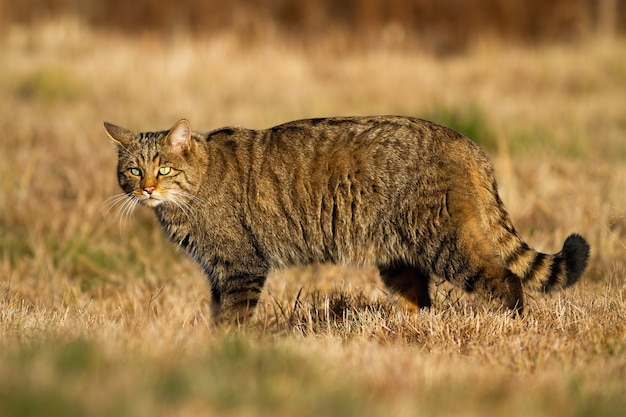 Gatto selvatico europeo interessato durante la caccia sul prato asciutto in autunno
