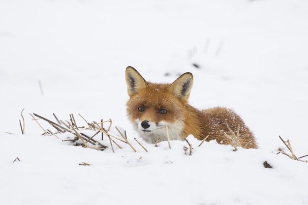 Volpe rossa interessata sdraiata su un campo coperto di neve bianca in inverno
