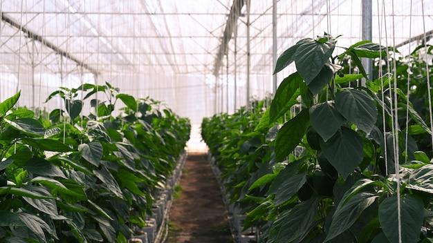 Interno della coltivazione di peperoni in una serra commerciale