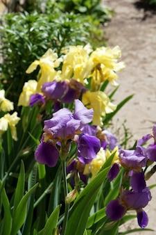 Brunch di fioritura dei fiori dell'iride in giardino