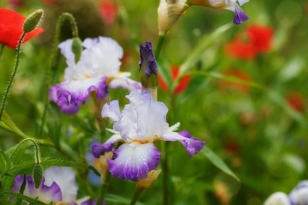 Primo piano dei fiori dell'iride con le gocce di acqua sui petali