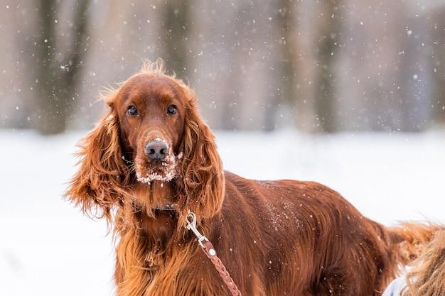 Irish red setter cane che gioca al guinzaglio in una passeggiata invernale