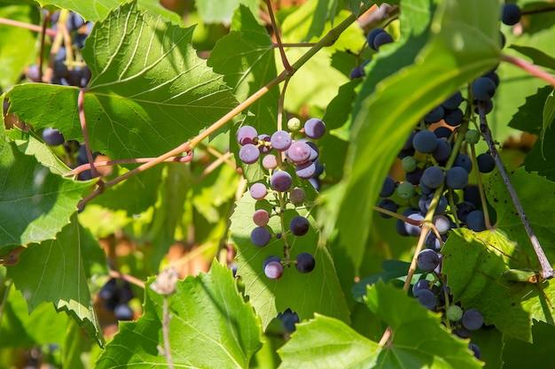 L'uva isabella è maturata su una vite che si arrampica su un muro di mattoni di un orto.
