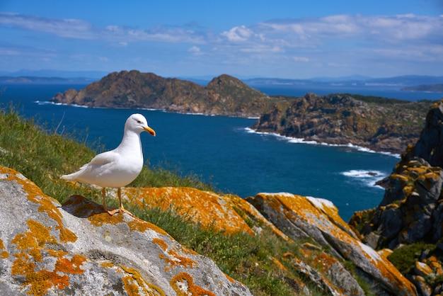 Uccello del gabbiano di mare delle gabbiani delle isole di isole cies in galizia