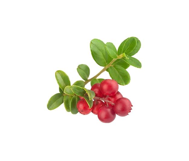 Ramo isolato di mirtillo rosso con bacche e foglie