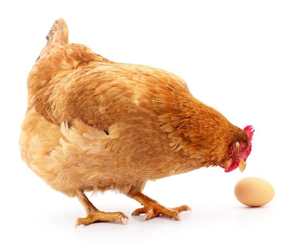 Gallina grigia isolata con l'uovo nello studio