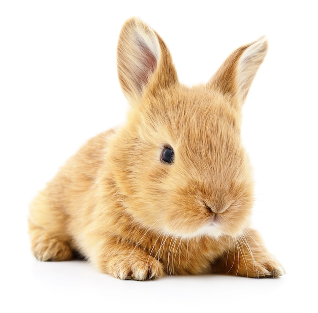 Immagine isolata di un coniglio di coniglietto marrone