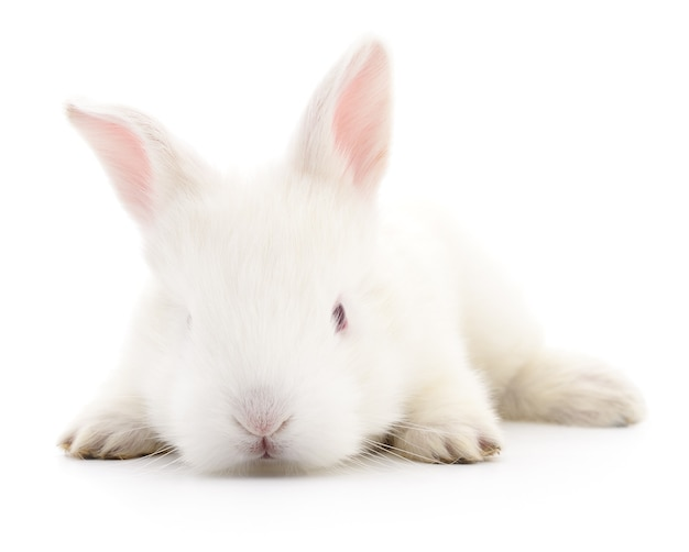 Immagine isolata di un coniglio di coniglietto bianco.