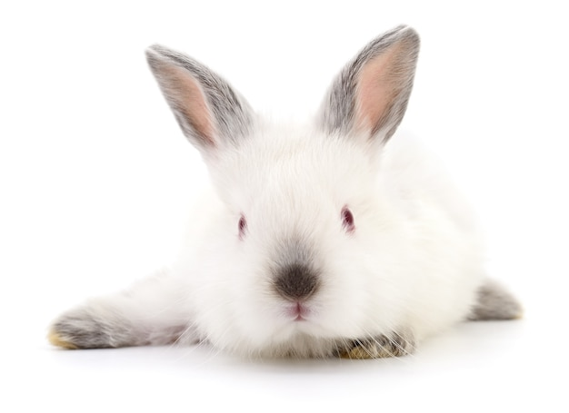 Immagine isolata di un coniglietto bianco.
