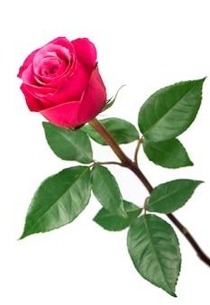 Fiore di rosa rosa isolato su sfondo bianco