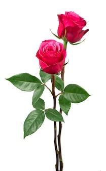 Fiore di rose rosa isolato su sfondo bianco
