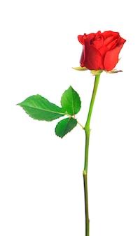 Fiore di rosa rosso isolato su sfondo bianco