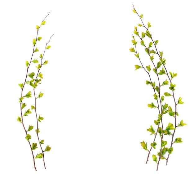 Ramoscelli verdi teneri isolati della molla con le foglie sboccianti su un fondo bianco