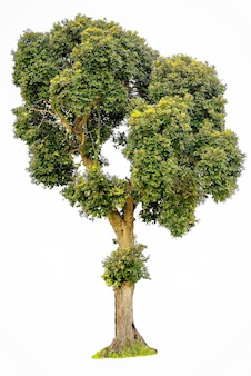 Albero isolato su sfondo bianco la collezione di alberi verdi