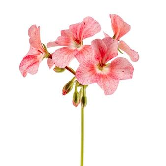 Isolato su superficie bianca, fiori rosa