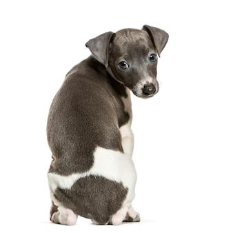 Cucciolo di levriero italiano seduto su sfondo bianco