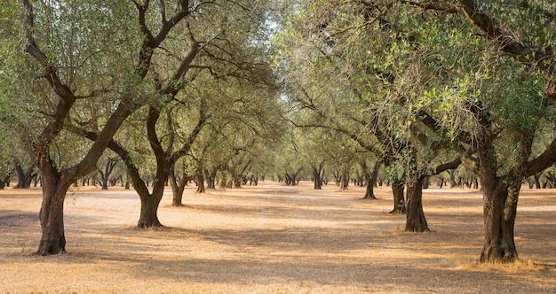 Italia, regione puglia, a sud del paese. piantagione tradizionale di ulivi.