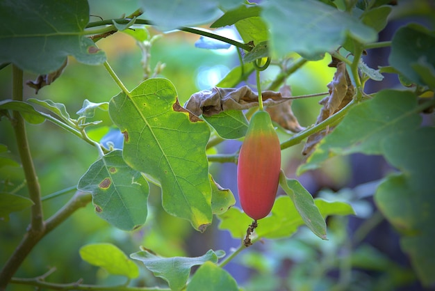 La zucca dell'edera (nome scientifico: coccinia grandis), frutto rosso maturo appeso alla vite in giardino.