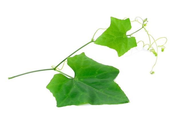 Ivy gourd nello spazio bianco