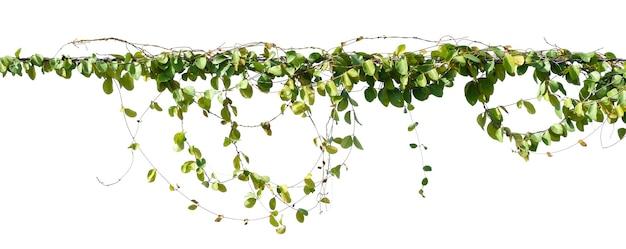 Pianta di edera appesa al filo elettrico isolare su sfondo bianco