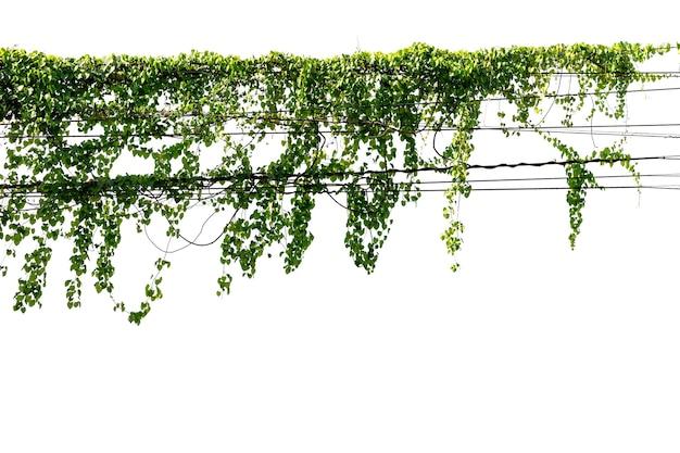 Vite di edera su sfondo di filo bianco