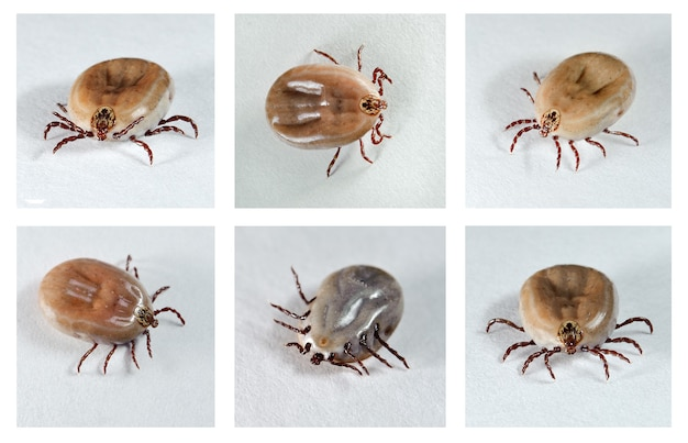 Ixodes ricinus. zecche di cane (femmina) da diverse angolazioni. portatore di malattie.