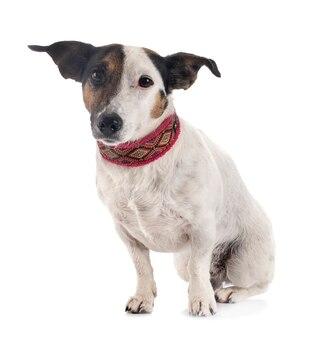 Jack russel terrier isolato su bianco