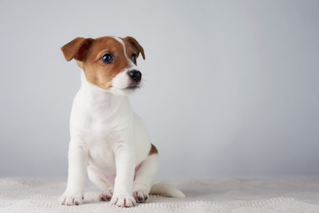 Cucciolo di cane di jack russel terrier su fondo grigio