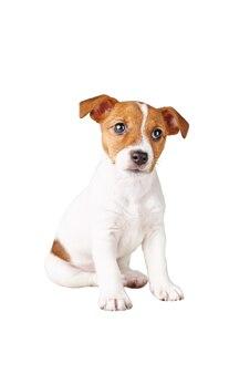 Jack russel terrier cucciolo di cane seduto sullo sfondo grigio