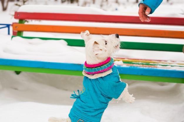 La corsa del cane di jack russell gioca le passeggiate invernali nel parco. concetto di animali domestici e animali domestici