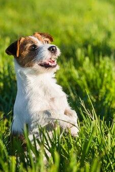 Jack russell dog si siede sull'erba verde sorridendo