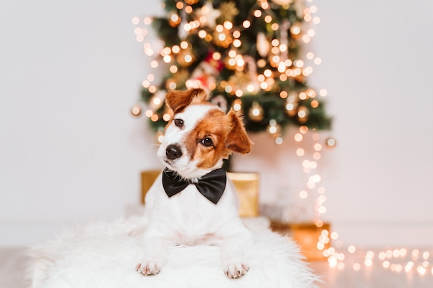 Jack russell cane con fiocco a casa dall'albero di natale