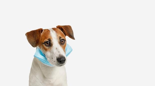 Jack russell cane con maschera medica su sfondo bianco