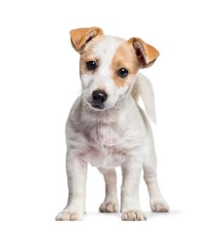 Cucciolo di jack russell, 3 mesi di età, in piedi su sfondo bianco