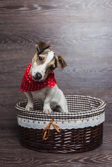 Jack russell terrier in cestino marrone