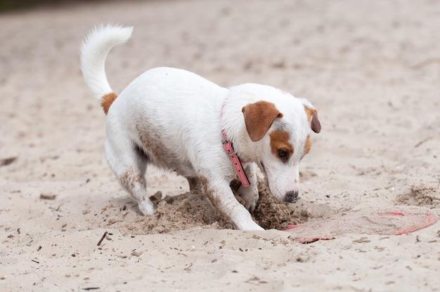 Jack russell terrier cane che scava sulla spiaggia