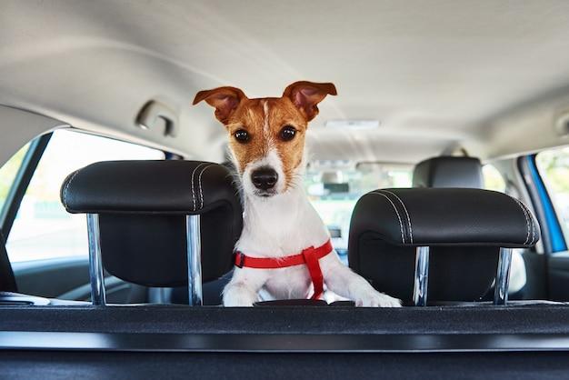 Jack russell terrier cane guardando fuori dal seggiolino per auto. viaggio con un cane