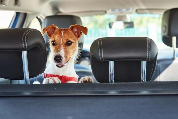 Jack russell terrier cane guardando fuori dal seggiolino per auto