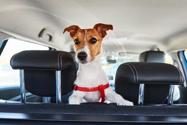 Jack russell terrier cane guardando fuori dal seggiolino per auto.