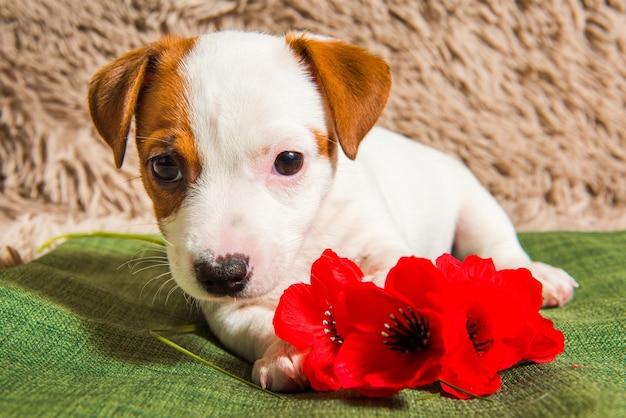 Cucciolo di cane jack russell terrier sta mentendo e fiori. carta il giorno di san valentino.