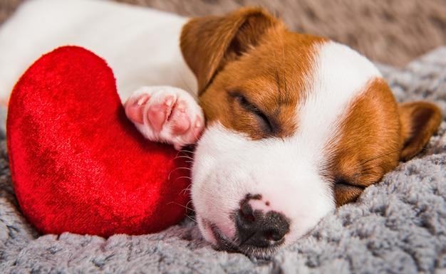 Jack russell terrier cucciolo di cane giace con cuore rosso. carta il giorno di san valentino.