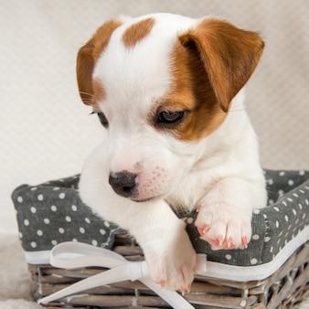 Cucciolo di cane jack russell terrier nel cestino